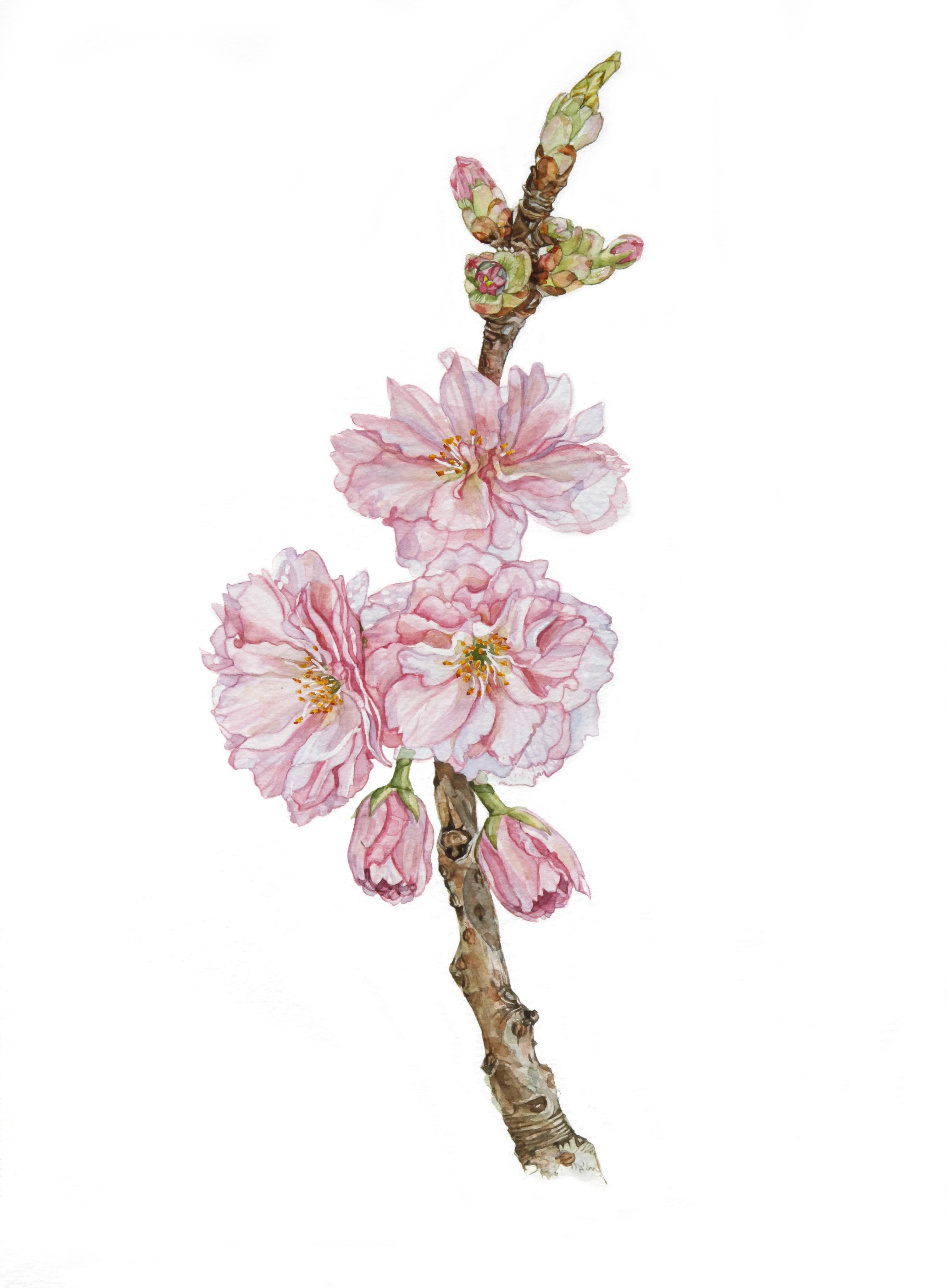 Kanzan Cherry Tree